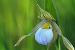 Small White Lady Slipper