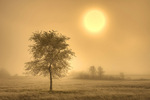 Tree in fog at sunrise