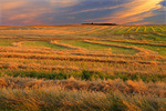 Canola swaths at sunset
