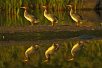 Common mergansers (Mergus merganser) at sunset. Rainbow Falls
