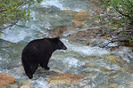 American black bear sow (Ursus americanus)  crossing creek