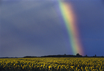 Sunflowers, rainbow and storm clouds