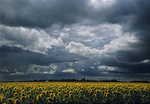 Sunflowers and storm clouds