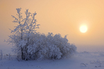 Trees covered in hoarfrost with fog at sunrise