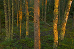 Last light on boreal forest