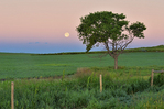 Moon setting on the prairie besides a tree at sunrise. West Block