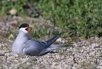 Arctic Tern (Sterna paradisaea) on nest on tundra