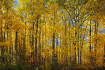 Trembling aspen trees in autumn color