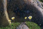 Mountain aevns (Dryas integroifolia)