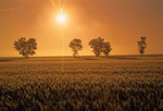 Barley crop and trees at sunrise