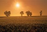 Barley crop and trees at sunrise