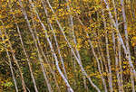 White birch trees in autumn color