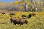 Plains bison in fescue prairie