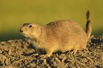 black-tailed prairie dog on top of his mound at sunset (Cynomys ludovicianus)
