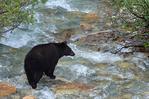 American black bear sow (Ursus americanus)  crossing creek