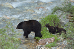 American black bear sow (Ursus americanus)  and her two cubs crossing creek