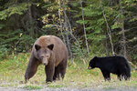 American black bear (Ursus americanus) sow with cub