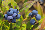 Blueberries (Vacciniium sp.)