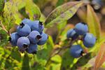 Blueberries (Vacciniium sp.)