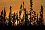 Boreal forest at sunset (black spruce)