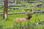 Bukk elk sitting in meadow with fallen tree stems form a past forest fire