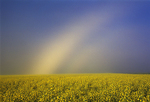 Fogbow and canola crop