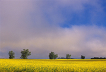 Trees, canola and fog at sunrise