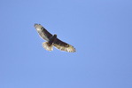 Ferruginous Hawk gliding on thermal of the Canadian prairie