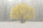Willow tree with autumn foliage in fog and hoarfrost