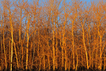 Trembling aspen (white poplar) trees at sunrise