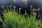 Blue flag irir (Iris versicolor)