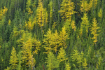 Western larches in autumn; Highwood Pass