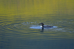 Common loon (Gavia immer) on lake