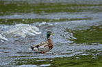Mallard or Wild Duck (Anas platyrhynchos) is a dabbling duck