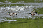 Mallards or Wild Duck (Anas platyrhynchos) is a dabbling duck