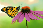 Monarch butterfly on Echinacea flower in urban garden