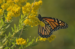 Monarch butterfly on golden rod