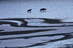 Cow moose (Alces alces) and calf walking in the shallow waters of Medincine Lake
