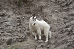 Rocky mountain goat (Oreamnos americanus) on ledge of mountainside