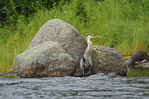 Great blue heron and river otter in background