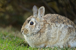 Young eastern cottontail rabbit on urban lawn