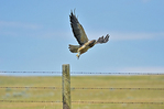 Swainson's hawk taking flight after leaving fence post on prairie