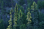 Coniferous (evergreen) trees growing on hillside in boreal forest