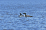 Two common loons (Gavia immer) on the English River. Ear Falls, Ontario. Canada