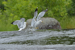 Ring-billed gulls at Rainbow Falls