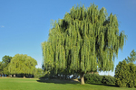 Weeping willows in urban park at Port Dalhouise