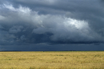 Wheat crop and storm clouds