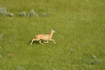 Whitetail deer (Odocoileus virginianus) in the Killdeer Badlands (East Block)