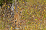 Whitetail deer (Odocoileus virginianus) in aspen parkland