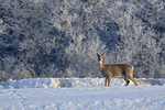 Whitetail deer (Odocoileus virginianus) at edge of hoarfrost covered forest